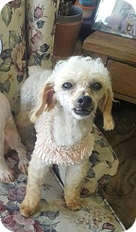Pictures of Lady Jane a Miniature Poodle for adoption in Venice, FL who needs a loving home.