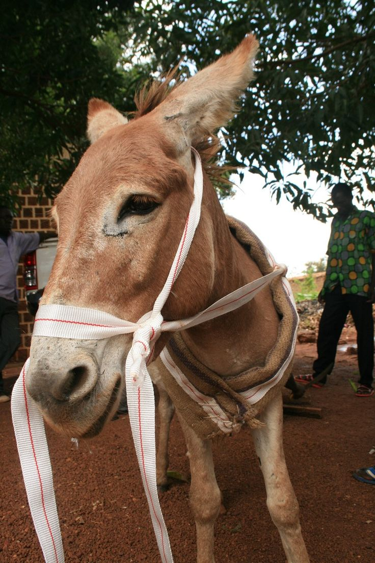One of the 100 donkeys we distributed along with plows to small-scale farmers