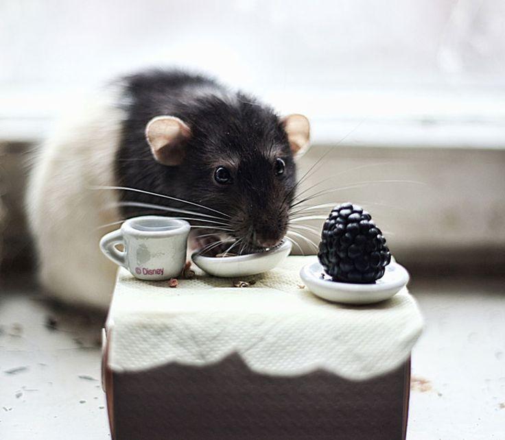 Домашние крысы - самые милые животные (ФОТО) http://www.belnovosti.by/domashnie-zhivotnye/50616-domashnie-krysy-samye-milye-zhivotnye-foto.html
