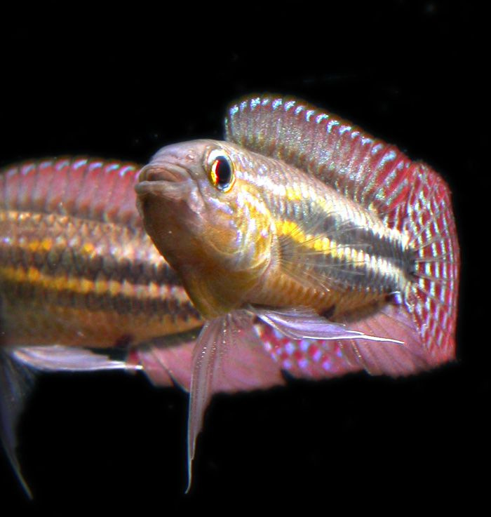 1000+ images about Amazing Apistos on Pinterest It is, Cichlids and ...