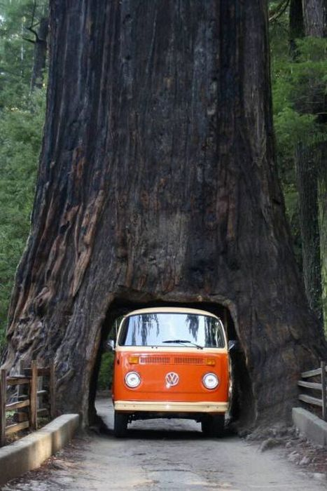 Strange Day Trips Volkswagen Camper Van Fits Perfectly In Tunnel Drive Thru Of Huge Sequoia
