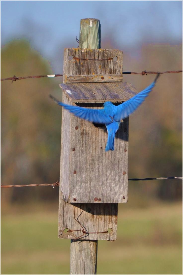 323 best i love bluebirds images on pinterest beautiful birds