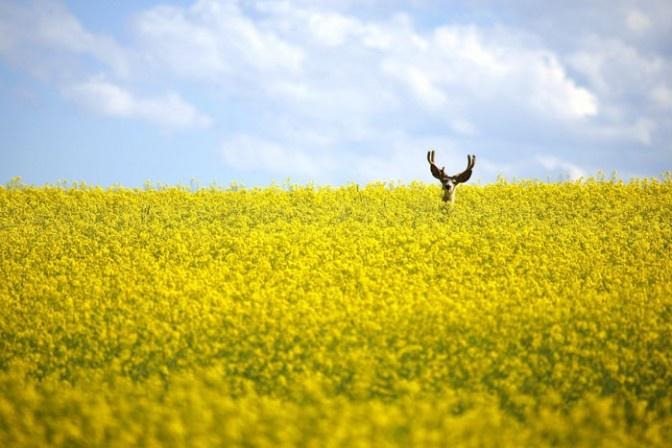 Un cervo in un campo di colza