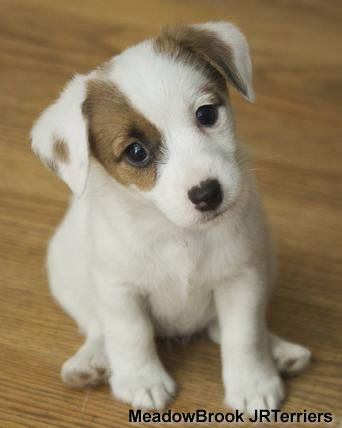 Jack Russell Terrier | This is what my Stimpy looked like as a baby.