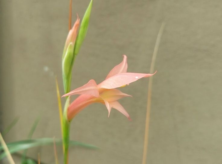 Gladiolus involutus - rare Sword Lily species from Africa