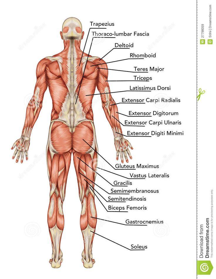 Mejores 69 imágenes de тело en Pinterest   Anatomía, Músculos y ...