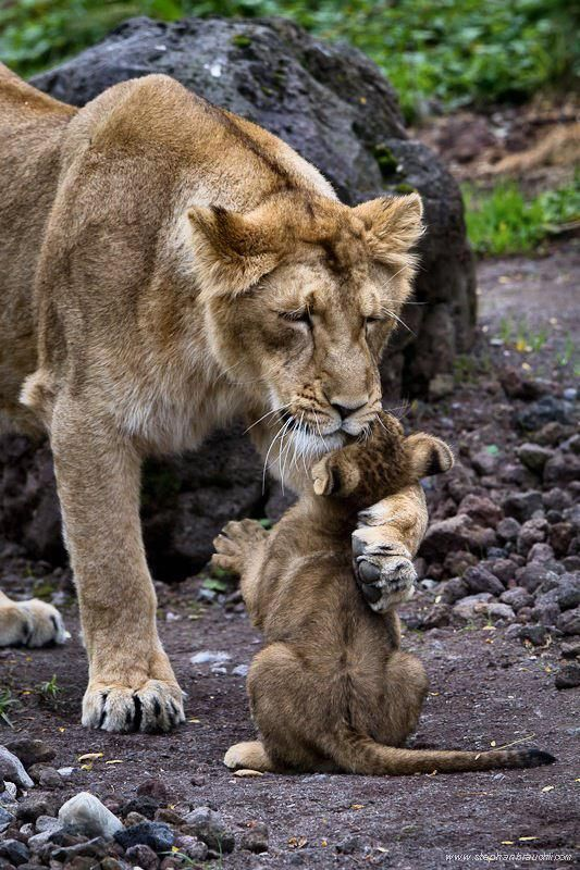 A mother lion hugging its baby.