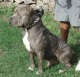pitbull pictures - reminds me so much of my boy before he passed away