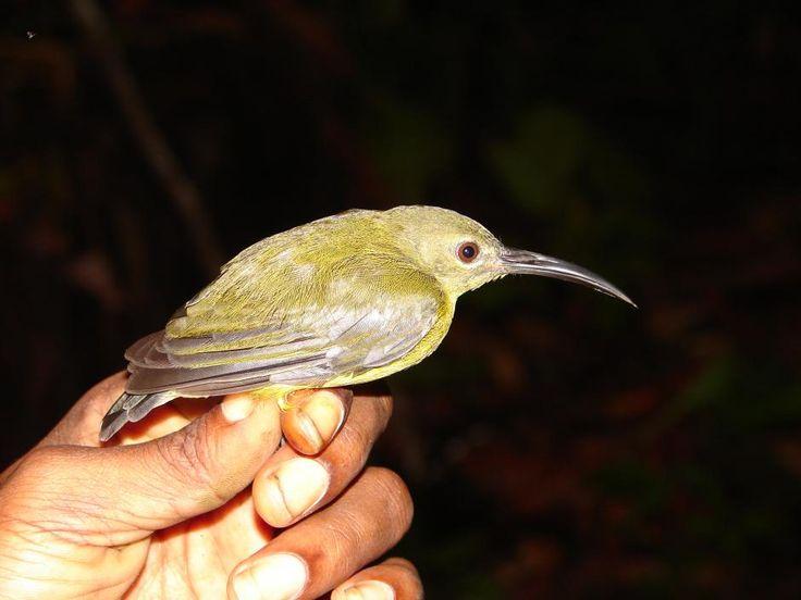 Toxorhamphus novaguineae (Yellow-bellied Longbill)