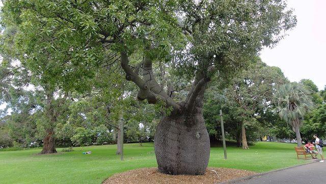 Queensland Bottle Tree (Brachychiton rupestris) at the Royal Botanic Gardens in Sydney.