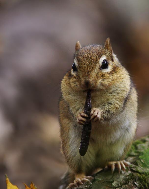 68 best images about animals chipmunks on pinterest