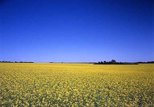 Saskatchewan canola