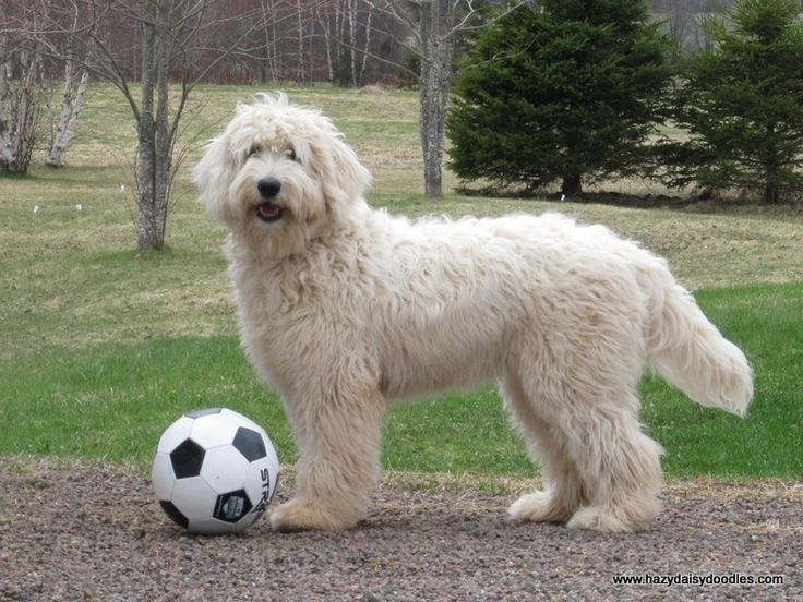 English Goldendoodle.  Love the full coat with a clean, trimmed look for winter!