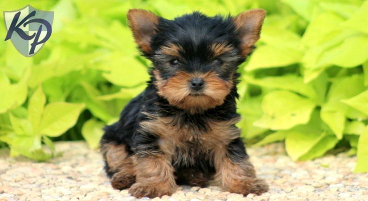 17 Best images about Yorkie on Pinterest | Yorkshire ...