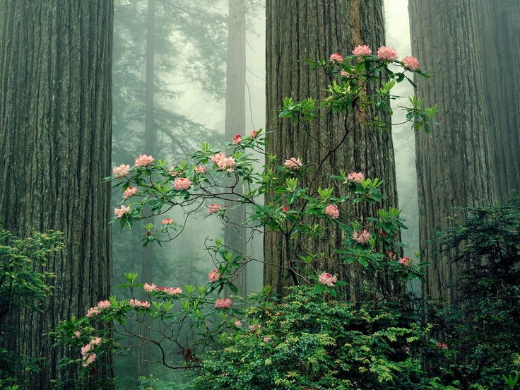 NaturePink Flower, Redwood National Parks, Nature Pictures, Dreamy Photography, Desktop Backgrounds, Native Plants, Pacific Northwest, Nature Beautiful, Amazing Photos