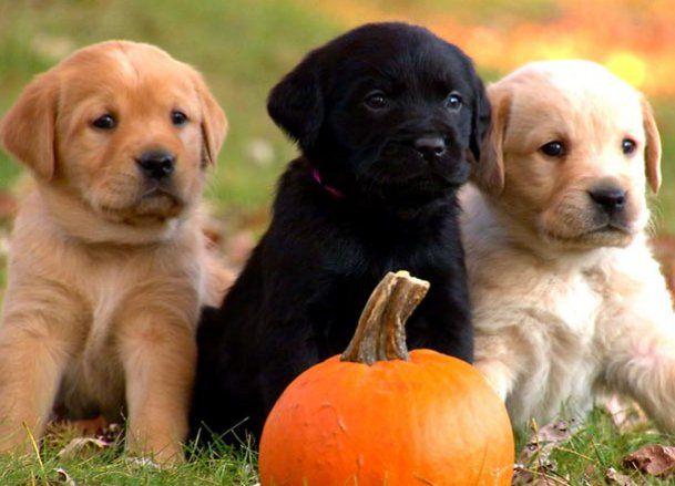 Mischievous Autumn Puppies! #Halloween #Pumpkin #Labrado_Retriever