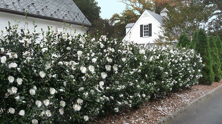Phttp://www.monrovia.com/plant-catalog/plants/578/winters-snowman-ice-angels-camellia/ Planting a Flowering Hedge Tip and Tricks: For a dense, full hedge, estimate the quantity you'll need by considering the full size width of your plants and roughly double the total amount of plants. (Example: If you have a 60 ft. span and space shrubs that get 8 ft wide at maturity 4 ft. on center, you would need 15 plants total.)