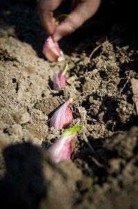 Fall and Spring Planted Garlic