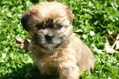 "GASP. Shorkies ""Our moms are full shih Tzu and our dad is full yorkshire terrier. This mix makes for a teddy bear breed that is a non shedding dog. They range between four and twelve lbs. full grown.""  SO CUTE."
