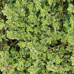 Thyme has medicinal value in over 30 conditions http://www.greenmedinfo.com/substance/thyme