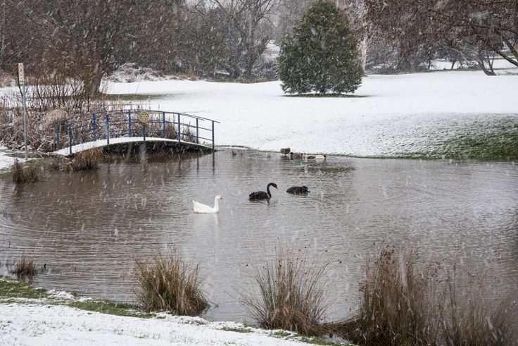 Swans and Snow Deloraine, Tasmania EVM Pet and Nature Photography