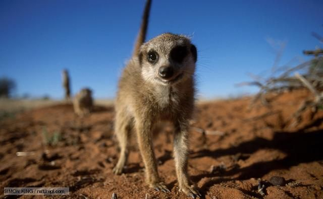 The Natural History Unit is one of the best known and much loved parts of the BBC. BBC Films worked in partnership with NHU on the film The Meerkats released in 2009.