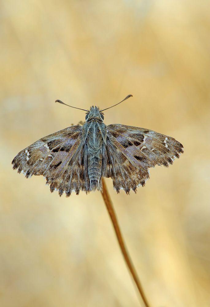 Malven Dickkopffalter Falter Schone Schmetterlinge Vogelbilder