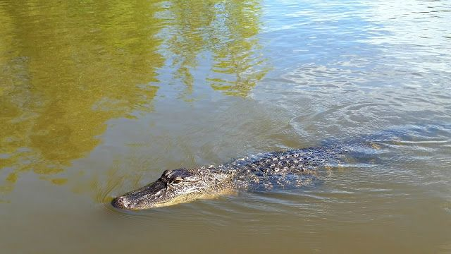 See ya later aligator Airboat adventures, Lafitte swamp Louisiana