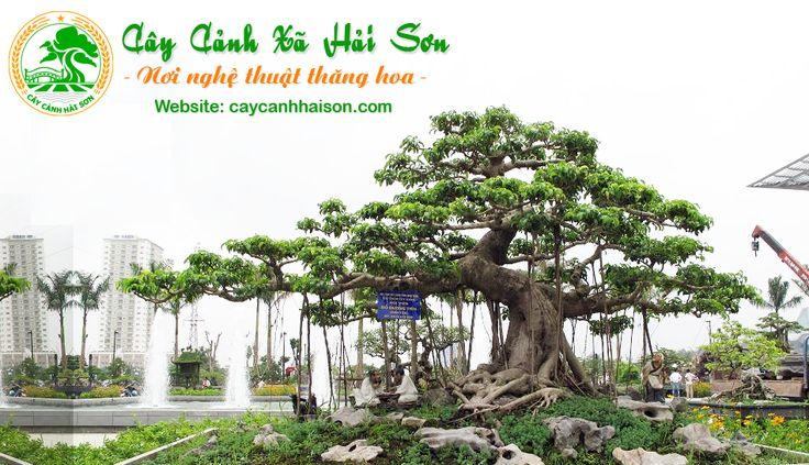 Cây Cảnh Hải Sơn - Mua Bán Cây Sanh, Cây Cảnh Đẹp - CayCanhHaiSon.com