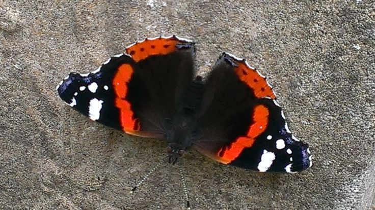 Red Admiral sunning itself on stone pot
