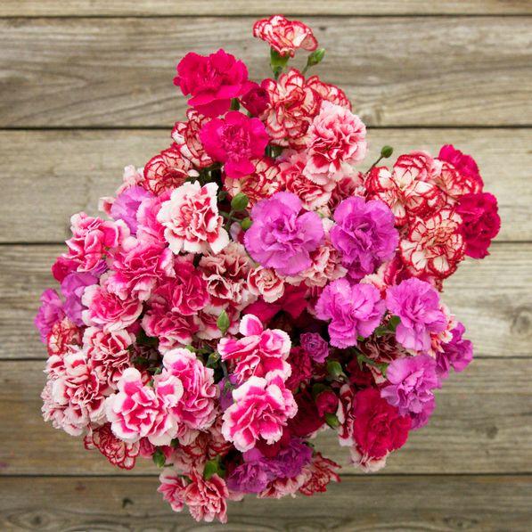 Œillets - Carnations  /// Violet+fushia+blanc/rosé