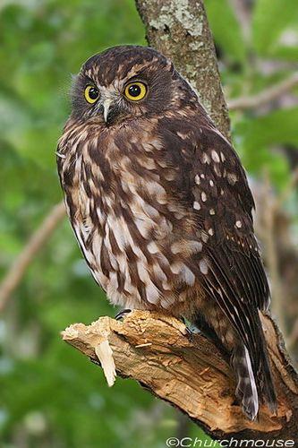 The Morepork or Ruru. Native New Zealand owl.
