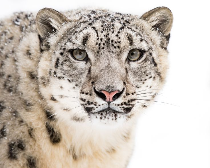 Snow Leopard in Snow V - null                                                                                                                                                                                 More