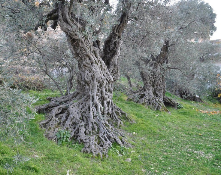 Tucked in the sleepy town of Bchealeh, North of Lebanon - live the oldest, olive trees in the world -  Breathtakingly ancient and yet a living witness of times gone by      Name: The Sisters Olive Trees of Noah   Date of Birth: 6000 BC   Location:  Bchealeh Olive Grove  - North Lebanon