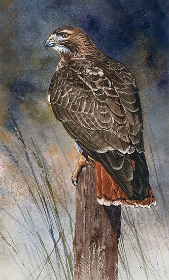 Red-tailed Hawk, detail by Joe Garcia Watercolor | Art ...