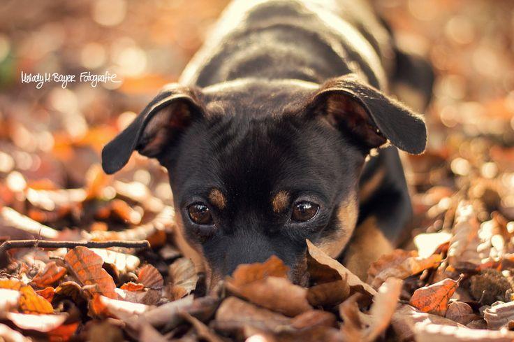 © Melody M. Bayer Fotografie | BUDDY&ME #happiness #PinscherBuddy #buddyandme #dogblog #miniaturepinscher #zwergpinscher