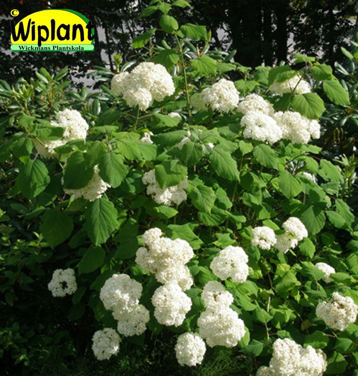 Hydrangea arb. 'Sylvia', vidjehortensia (bollhortensia). Stora vita blommor i juli-augusti. Närpesklon. Höjd: 1 m.