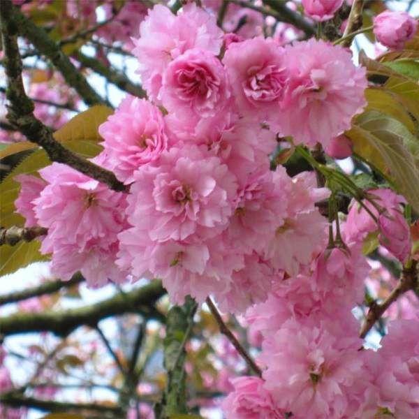 Dreamcatcher Flowering Cherry Flowering Trees Flowering Cherry Tree Dogwood Trees