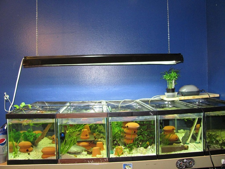 Shell Dweller Tanks Aquarium Room Pinterest Shells