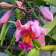17 Best Ideas About Vanda Orchids On Pinterest Types Of Orchids Growing Orchids And Orchid