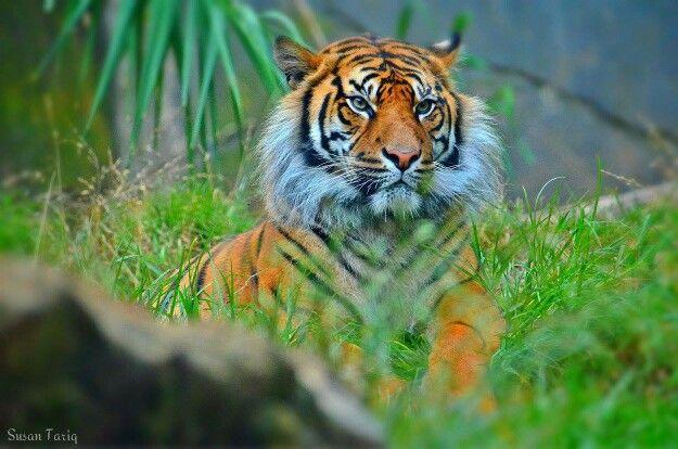 Sumatran Tiger ...Taronga Zoo.. Gorgeous. ..