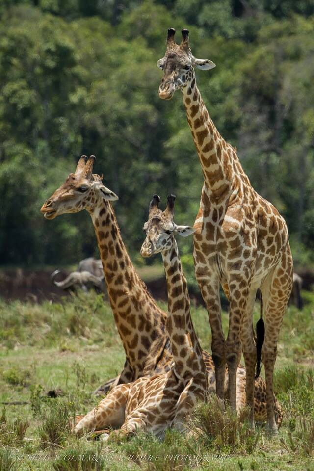 giraffe family giraffe pinterest giraffes and families