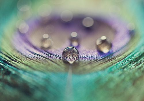 dewdrops on peacock feather