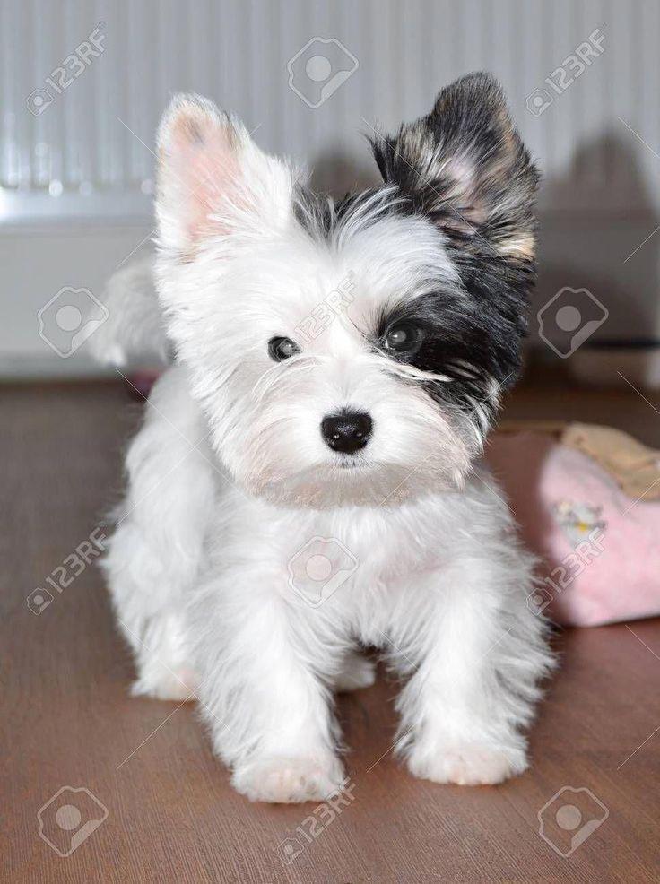 Welpe Yorkshire Terrier Biewer Schwarz Yorkshireterrier