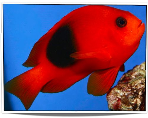 $24.95 Fire Clownfish For Sale and other tropical saltwater fish for sale USA at Pet Fish For Sale! Swim on over to our site today www.petfishforsale.com