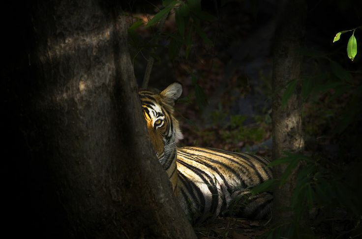 Tiger at Ranthambore National Park #tiger Eye of the Tiger. --Your Shot. NATIONAL GEOGRAPHIC.