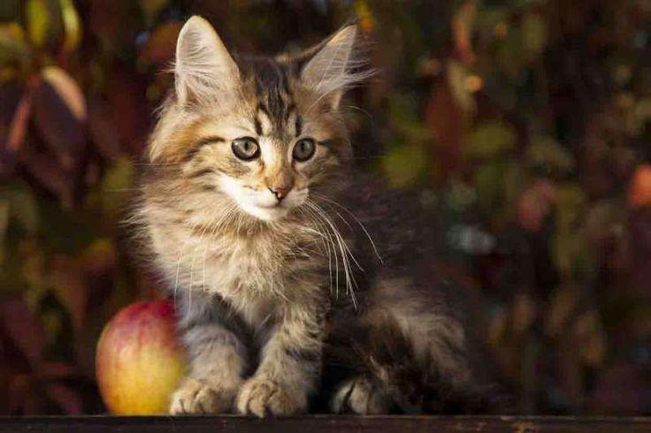 Кошки питомника -Потомство -XMAS (к рождеству) -КСАНА (Xana North Cape*RU)