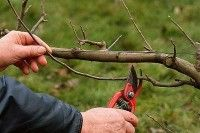 Fruits et verger - La taille des arbres fruitiers. Cinq erreurs à ne pas commettre