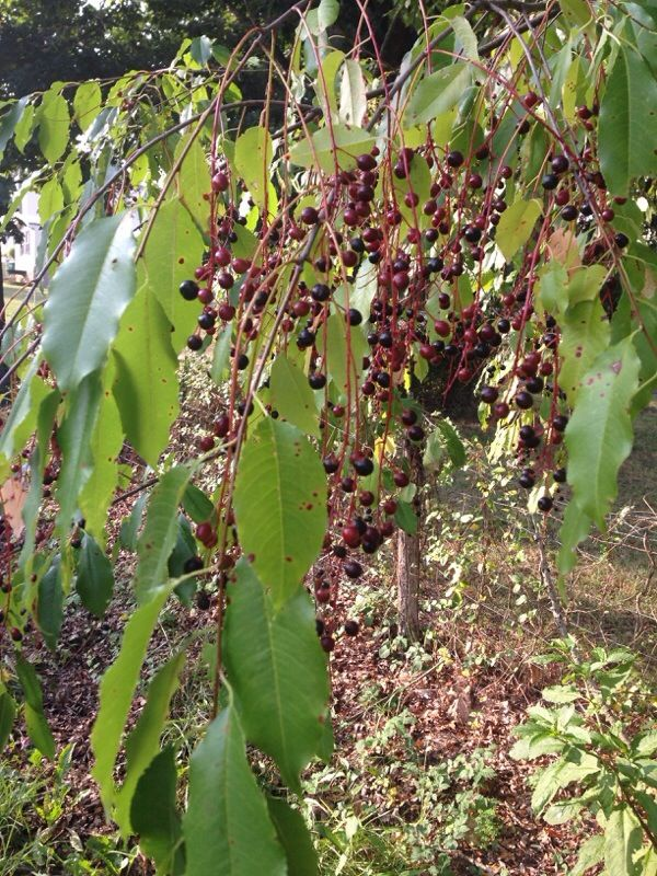 Wild Cherry Prunus Avium This Appears To Be The Common Cherry Tree Also Called Mazzard And Gean If You Would Send Us A Cle Plant Leaves Cherry Tree Plants