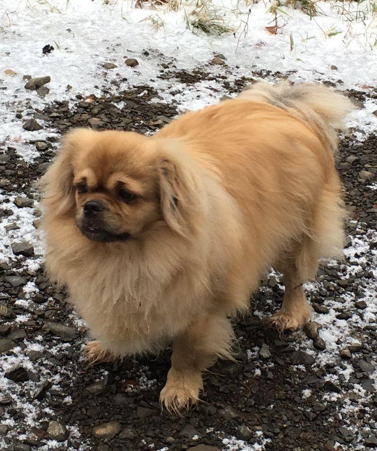Tibetan Spaniel Stui Dogs, Animals, Cute animals